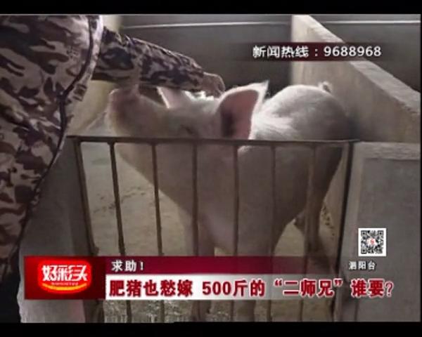 """求助!肥猪也愁嫁 500斤的""""二师兄""""谁要?"""